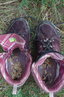 Thalspi, or pennycress, which is dropping seeds even in my shoes!