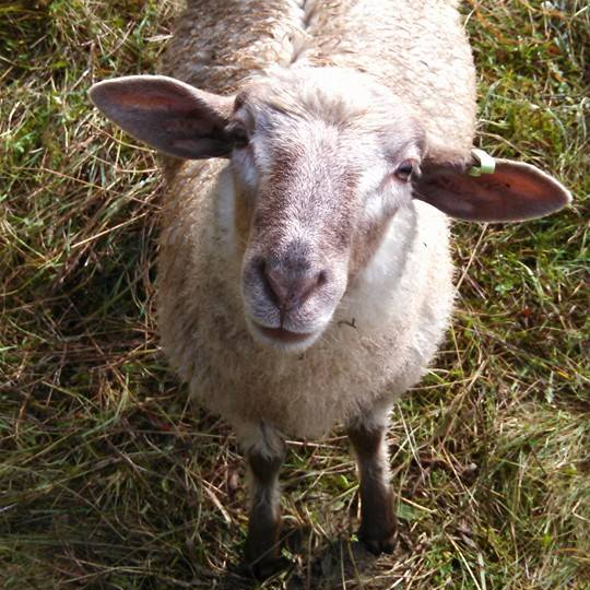 A sheep posing for a photo.