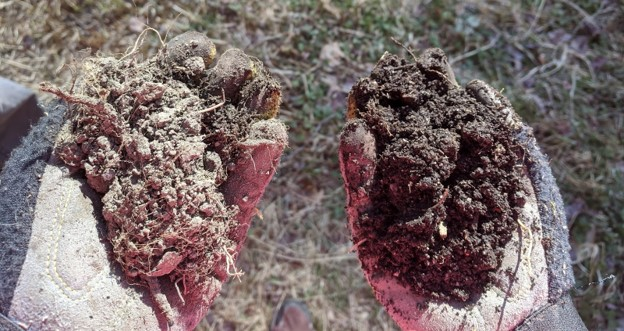 A picture pointing downwards at two hands wearing gardening gloves and holding handfuls of soil in each hand. Roots and leaves protrude from the soil and the grass on the ground is blurred in the background.
