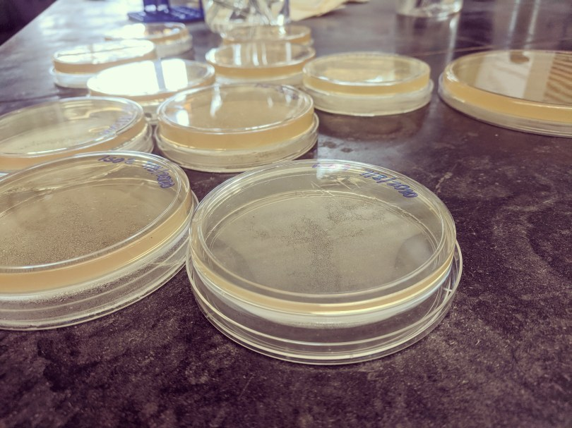 A close-up picture of petri dishes containing a light yellow film of microbes.