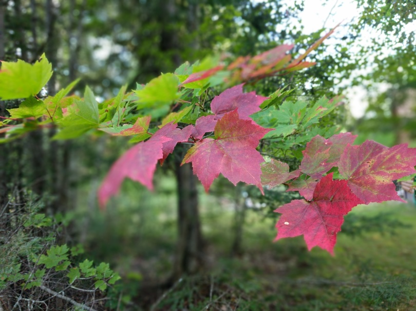 A branch of bright red maple leaves with green maple leaves further up the branch. The background is blurred, but shows a forest under an overcast grey sky.