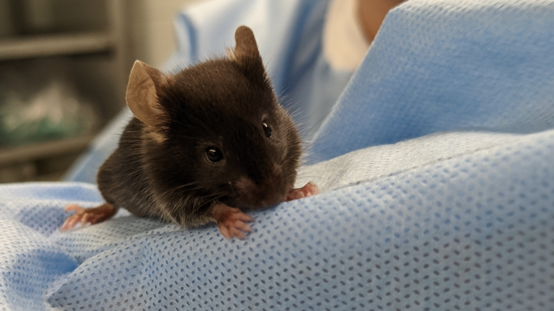 A very close-up image of a small, dark brown mouse perched on the arm of a graduate researcher wearing a surgical gown.