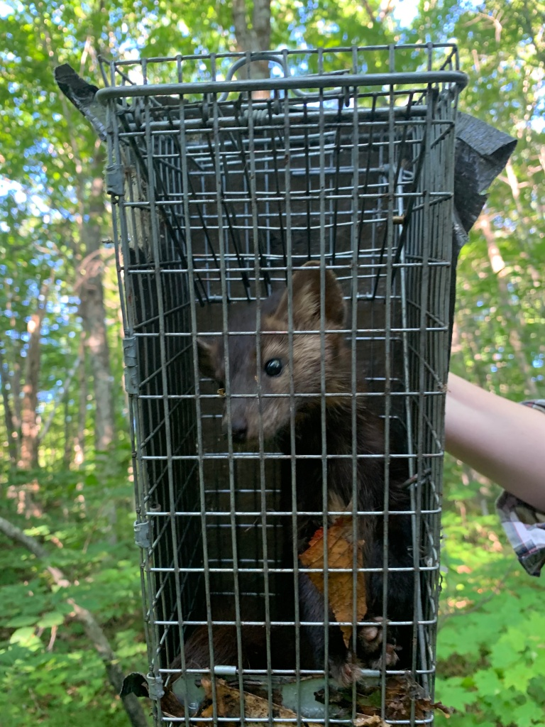 A pine marten sitting in a live capture trap in a forest.