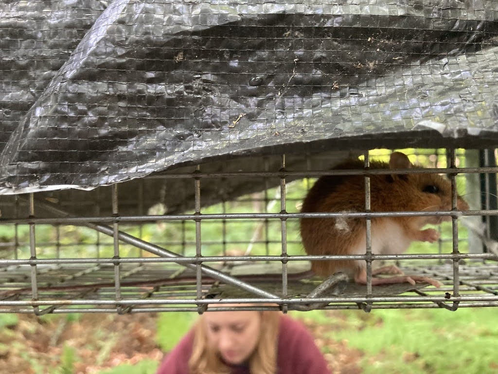 A close-up of a deer mouse sitting in a live capture trap in the forest.  In the background is one of the researchers kneeling on the ground.