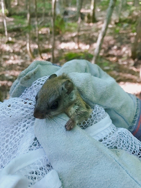 Northern flying squirrel sitting on a net with a forest in the background.